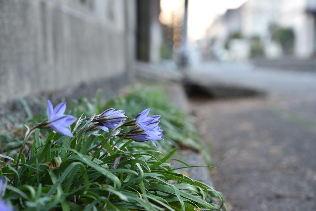 南林間2丁目道端の植物その1です