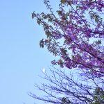西鶴間8丁目 南鶴間いこいの森 桜と月です