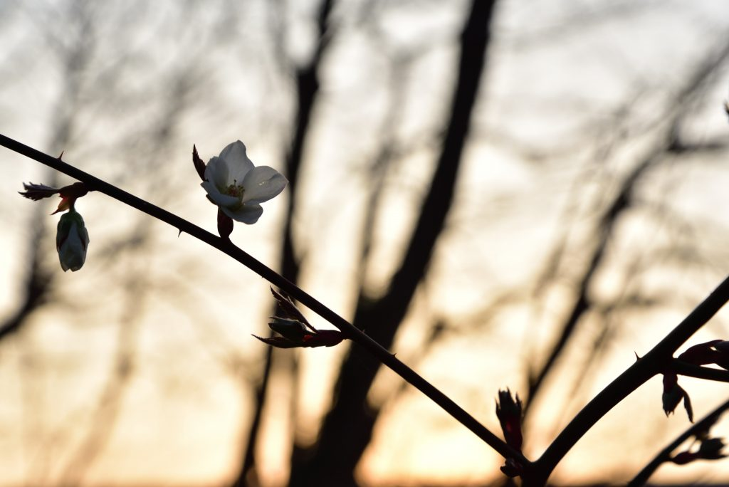 西鶴間8丁目 南鶴間いこいの森 夜明けと白い花です