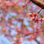 西鶴間8丁目 南鶴間いこいの森の桜の花です