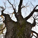 中央林間5丁目 多胡記念公園内の大木です