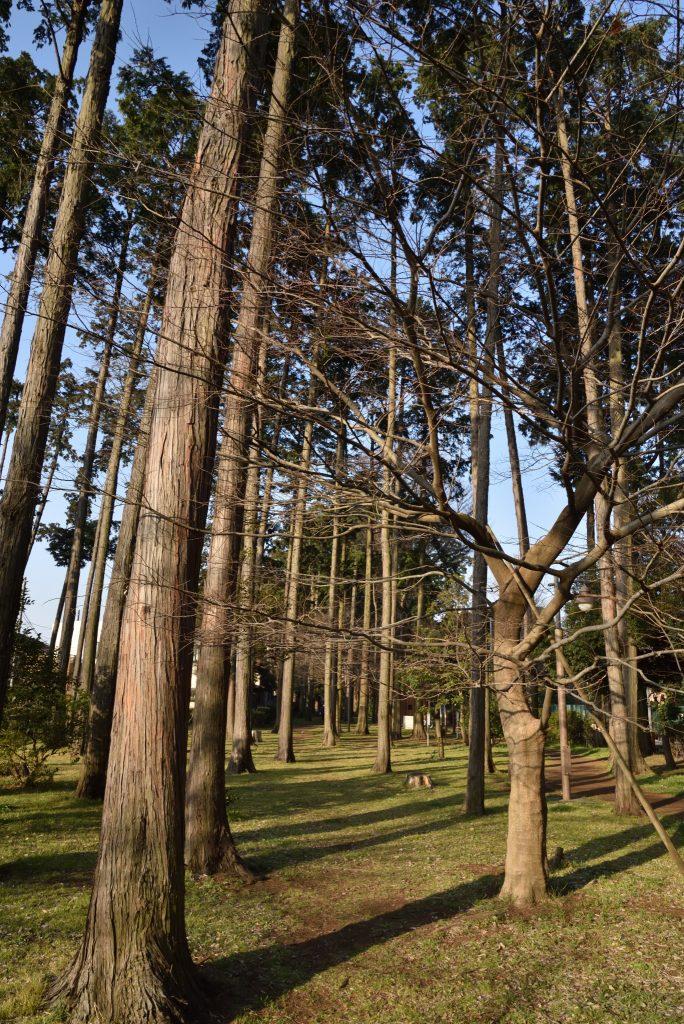 中央林間西4丁目 宇都宮記念公園「ひのきの散歩道」です