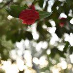中央林間西4丁目 宇都宮記念公園「みどりの森」椿の花です