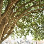 中央林間1丁目 中央林間ツリーガーデンの大きな木です