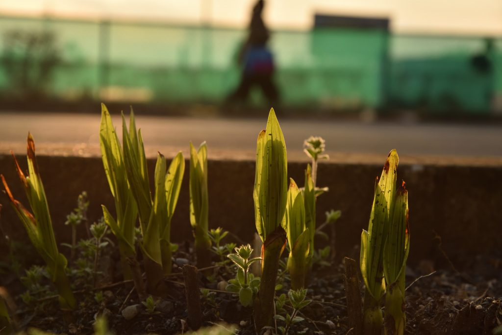 中央林間西1丁目 夕日に映える道端の植物です