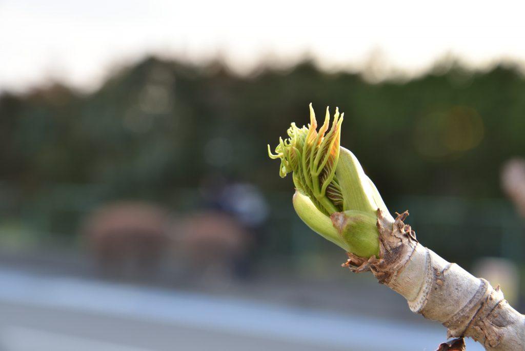 中央林間西1丁目 歩道に芽吹いたタラの芽です