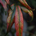 南林間8丁目 赤く染まった葉です