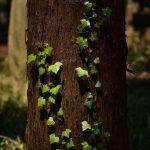 鶴間公園 日の光に輝くツタの葉です