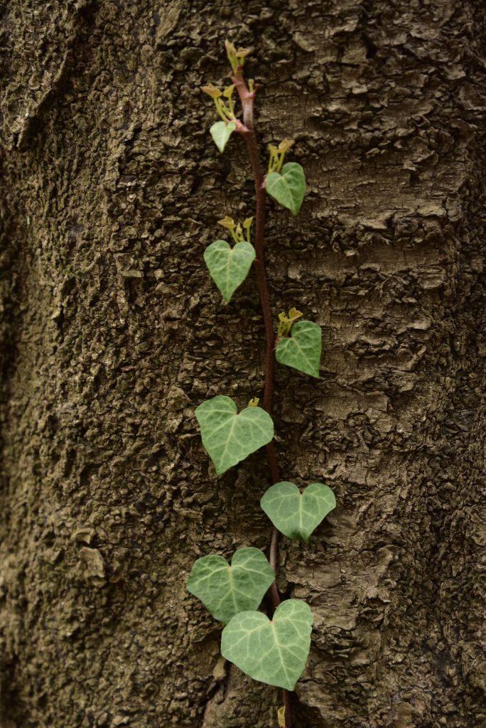 鶴間公園 幹に伸びるツルとハートの葉です