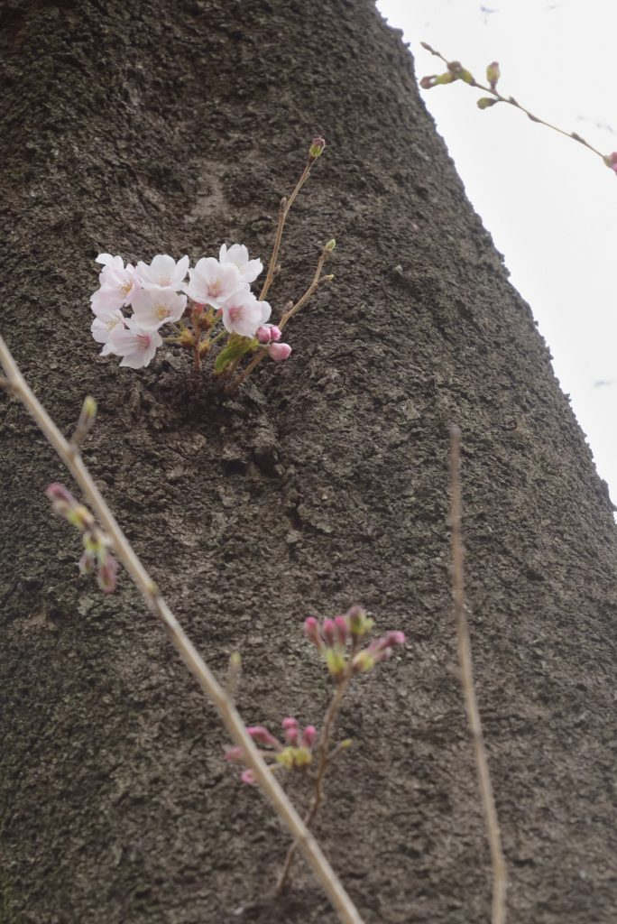 鶴間公園 幹に咲いた桜の花です
