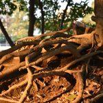 つきみ野5丁目 つきみ野1号公園 地上をはう木の根です