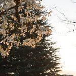 つきみ野5丁目 夕日に照らされるこぶしの花です
