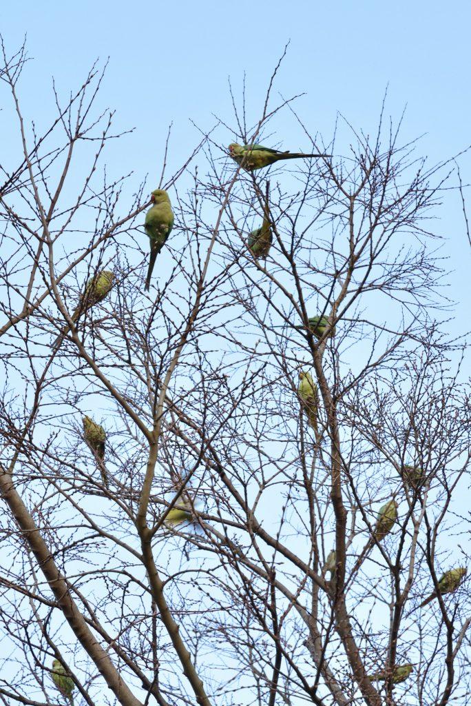 つきみ野3丁目 つきみ野4号公園 緑色のオウムが群れる木です