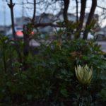 中央林間西1丁目 道端の植物 ガザニアです