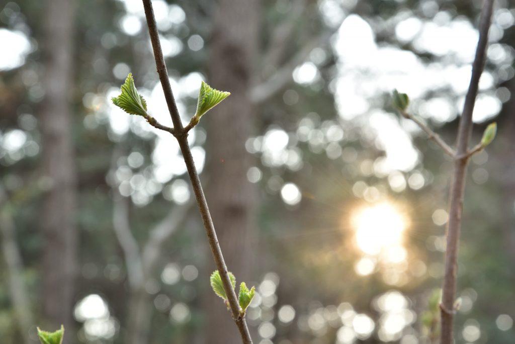 下鶴間4437-8 つるま自然の森 朝日に葉を広げです
