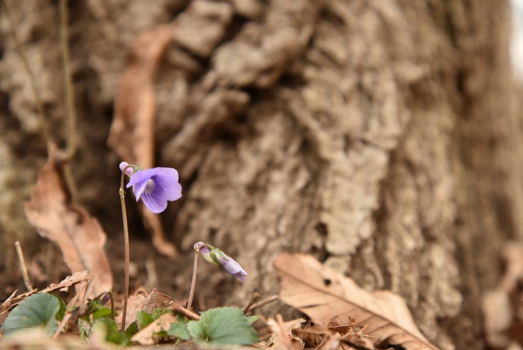 上鶴間8丁目 東林ふれあいの森 巨木を見上げる花です