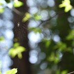 泉の森 2017年4月8日 日を受けるクモの糸です