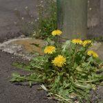 西鶴間5丁目 道端の曲がり角に咲く花たちです