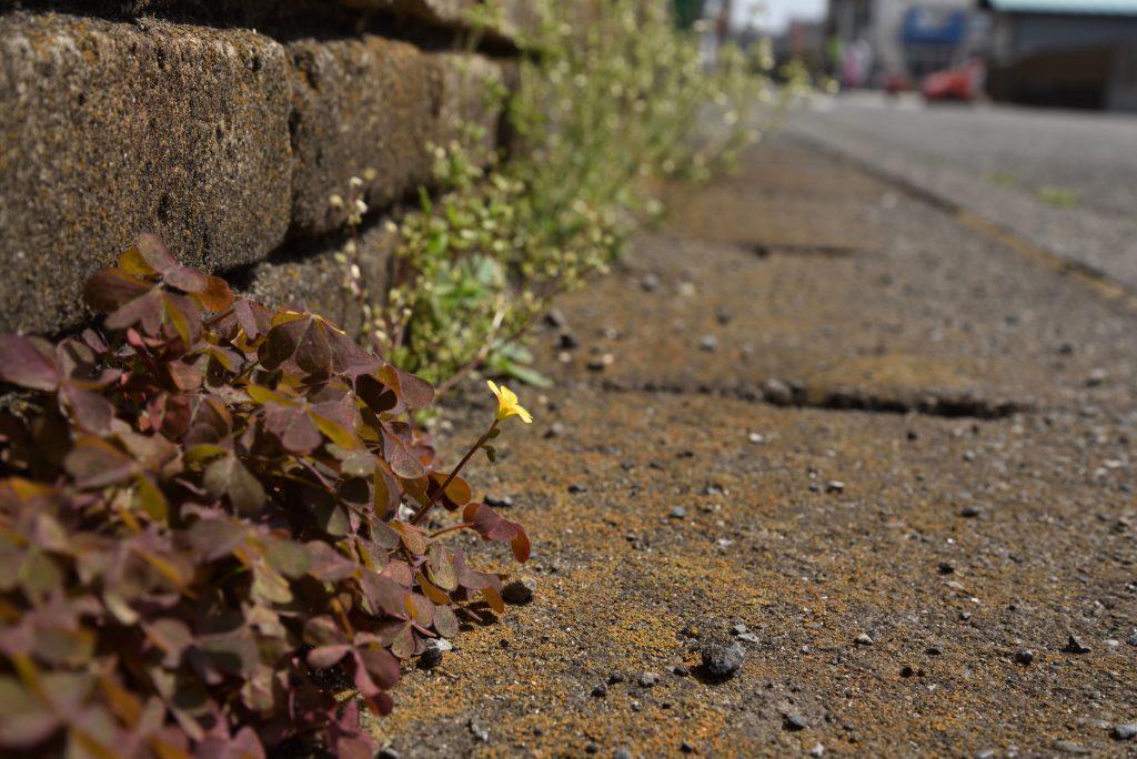南林間5丁目 道端に咲く小さな黄色い花です