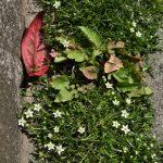 南林間8丁目 歩道のすみの雑草の寄せ植えです