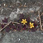 南林間8丁目 歩道のすみに咲くの小さな黄色い花です