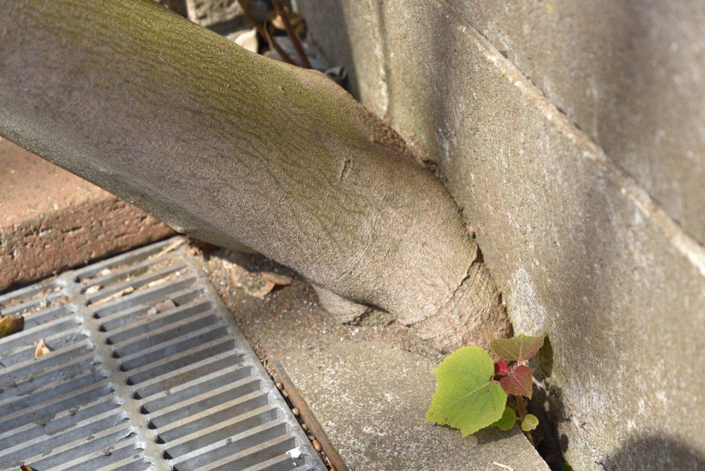 西鶴間7丁目 塀と道路のわずかなすき間から生えている木です