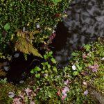 泉の森 2017年4月18日 しらかしの池 春の彩りです