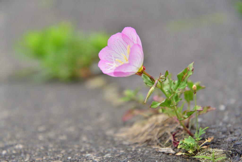座間市ひばりが丘1丁目 道端に咲く花です