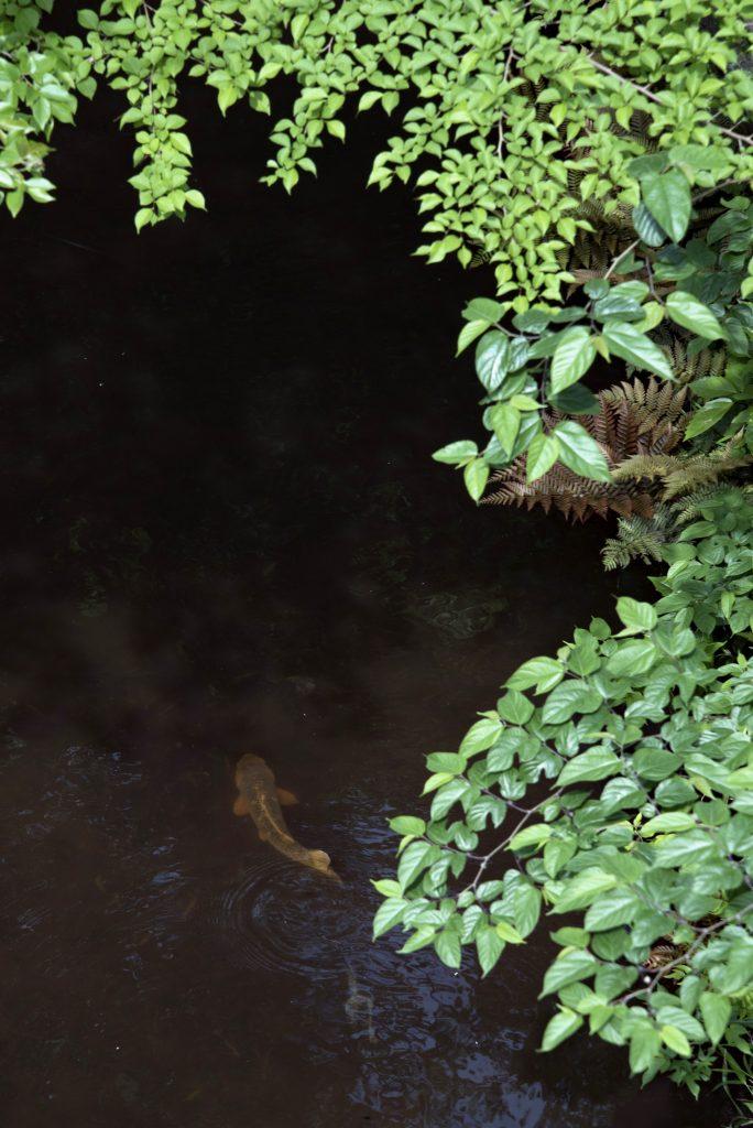 武蔵境 玉川上水の鯉です