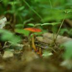 下鶴間4437-8 つるま自然の森 草むらの中の赤いきのこです