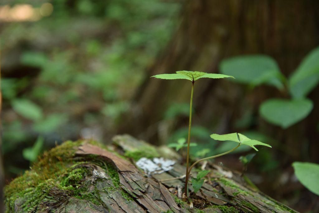 下鶴間4437-8 つるま自然の森 倒れた木から新たな命です