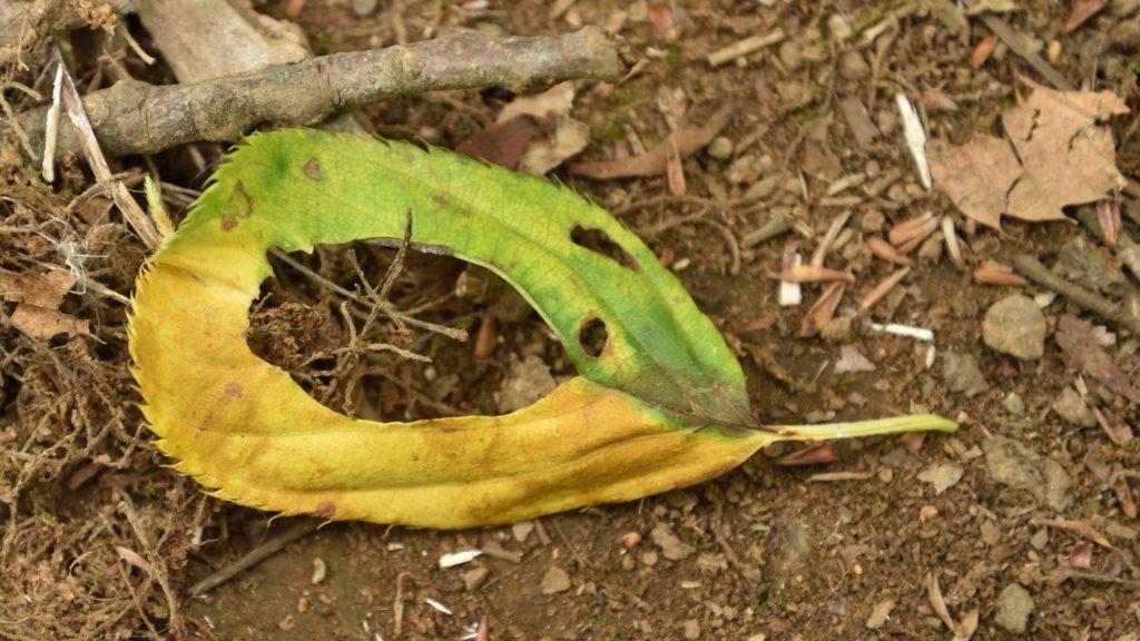 下鶴間4437-8 つるま自然の森 ドーナツの葉っぱ