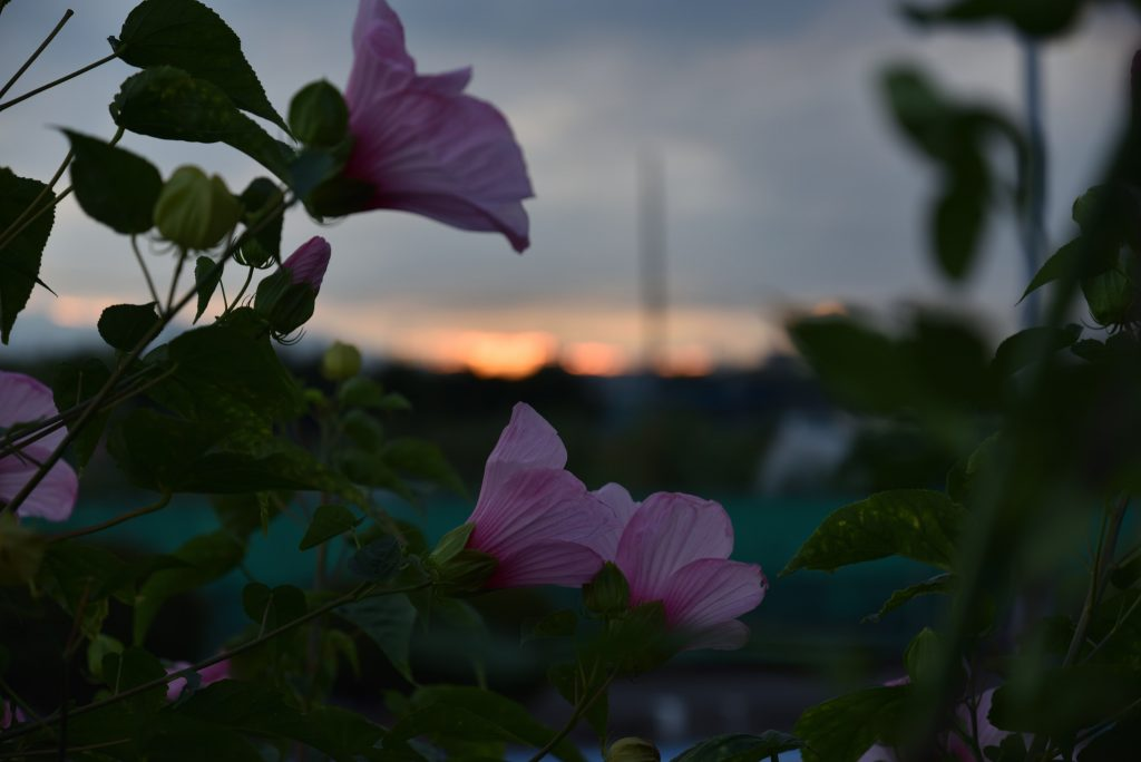 南林間 夏の日の夕焼けと花です