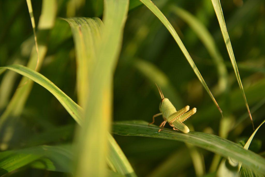 座間谷戸山公園 トノサマバッタの幼虫です