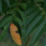 泉の森 2017年10月9日 気の早い葉が一枚です