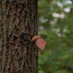 つるま自然の森 2017月10月24日 赤いツタの葉です
