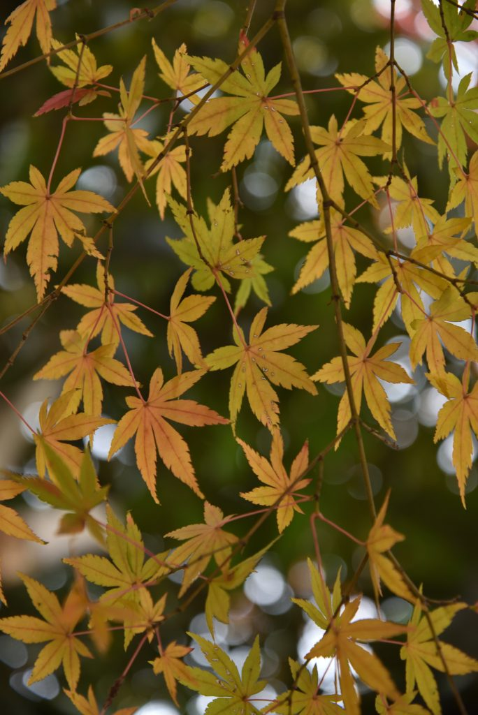 鶴間公園 2017年11月27日 紅葉のパターンです