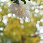 鶴間公園 2017年11月27日 白いツバキと紅葉です