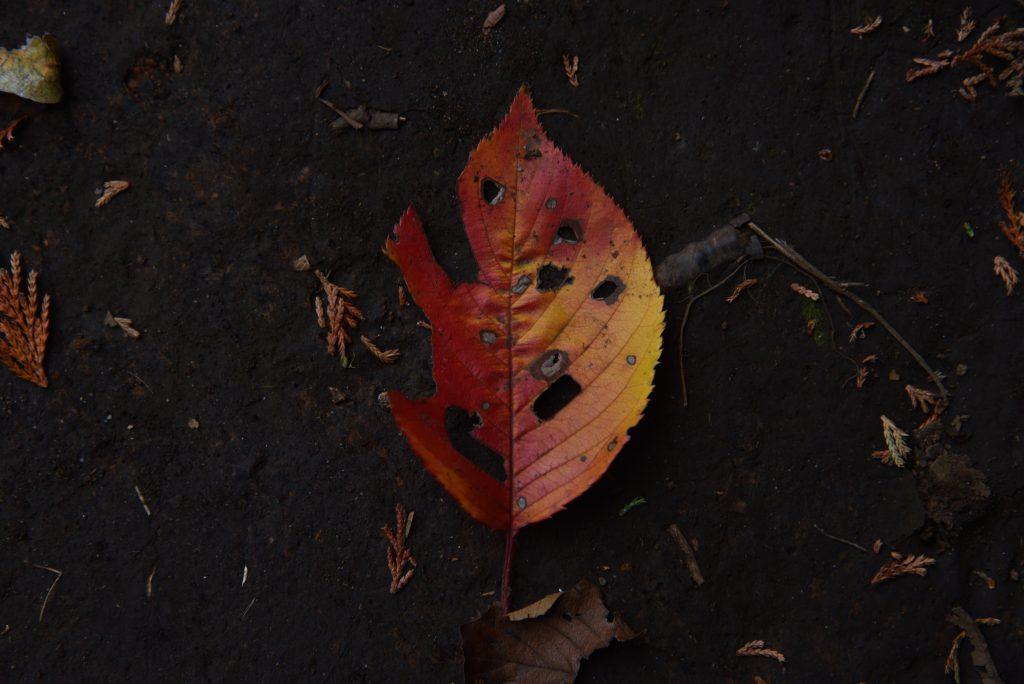 鶴間公園 2017年11月27日 黒土に映える紅葉です