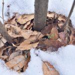 つるま自然の森 2018月1月26日 雪解けの穴