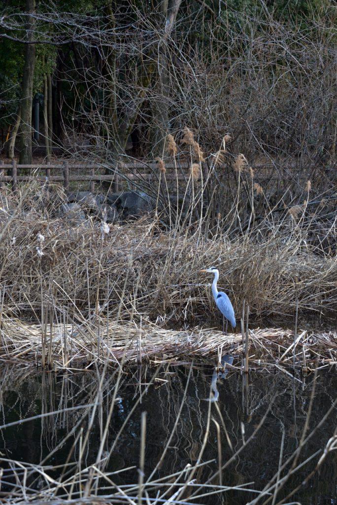 泉の森 水辺で羽を休めるアオサギです