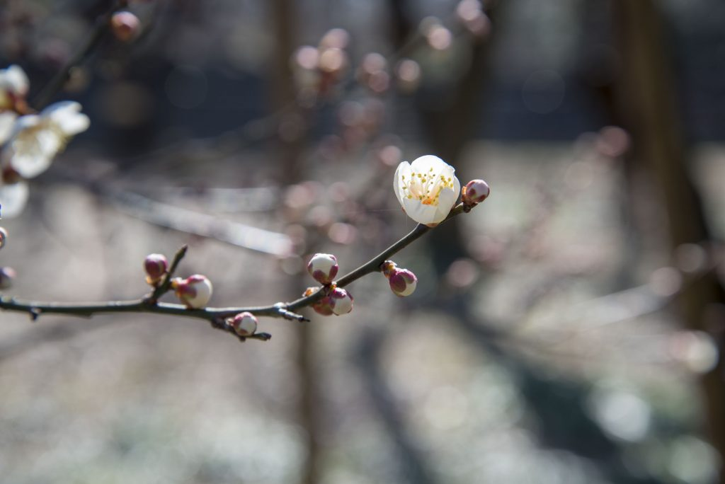 野川公園自然観察園ほころび始めたうめの花です