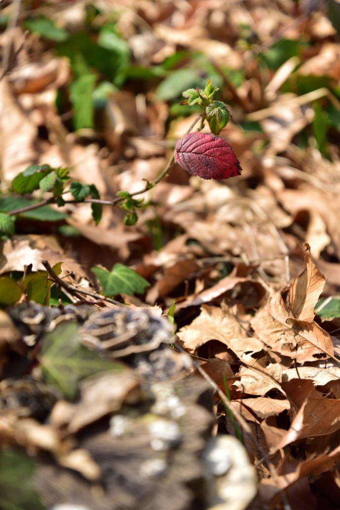 つるま自然の森 黒いキノコ越しの赤い葉です
