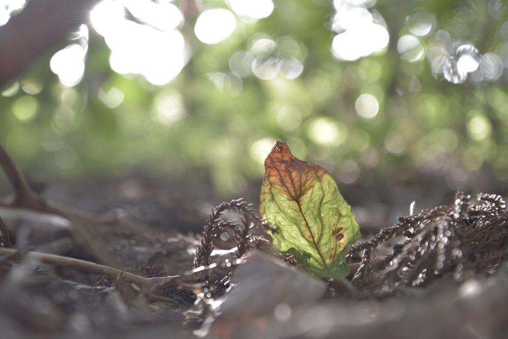 2018年8月18日 つるま自然の森 朝日に透けた落葉