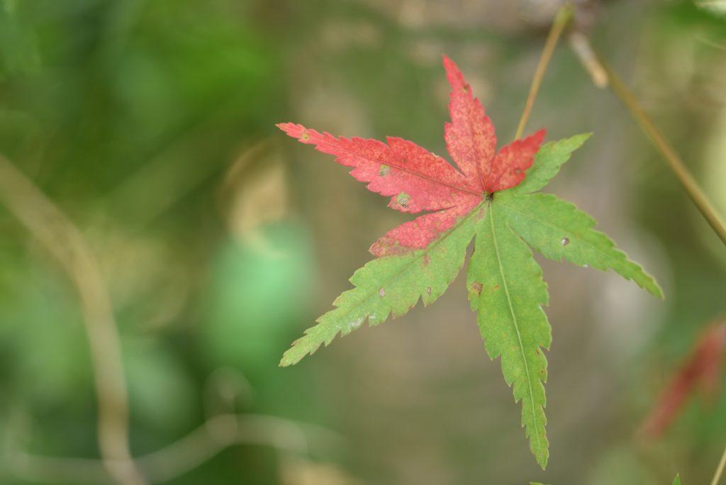2018年8月19日 南林間 半分赤く染まった紅葉の葉