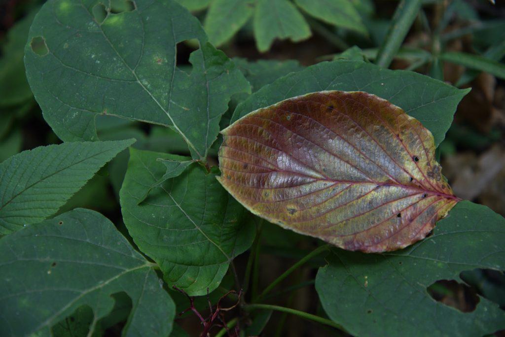2018年10月26日 東林ふれあいの森 玉虫色の落ち葉